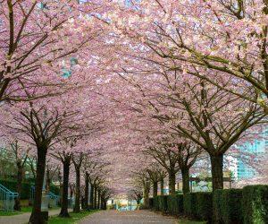 2016_vancouver_cherry_blossom_festival_3479cf4a-b433-4a71-81e3-7ea54e1210e7