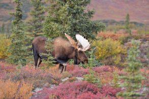 alaska_bigstock-bull-moose-alces-alces-denal-102473552