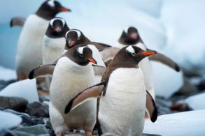 penguins-cuverville_andreas-kalvig-anderson_2500x1250-bilde-andreas-kalvig-anderson